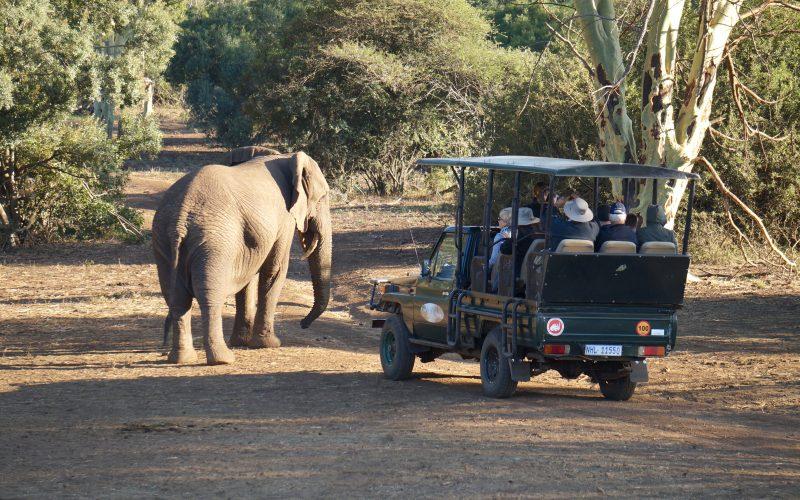 Eléphant qui charge une voiture, réserve Zulu Nyala, afrique du sud