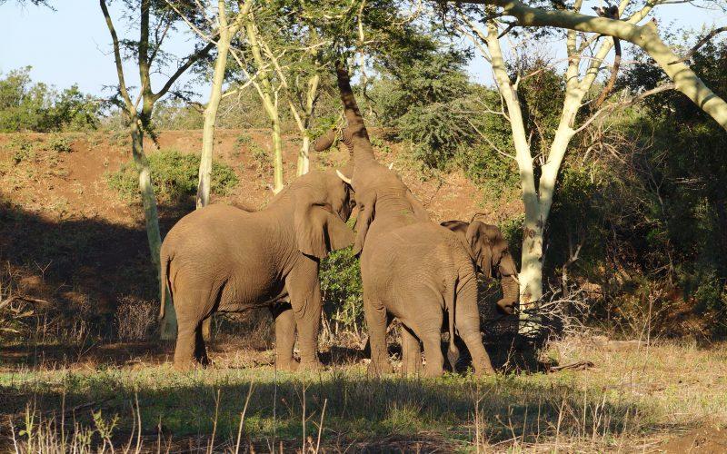 Eléphants qui mangent, réserve Zulu Nyala, afrique du sud