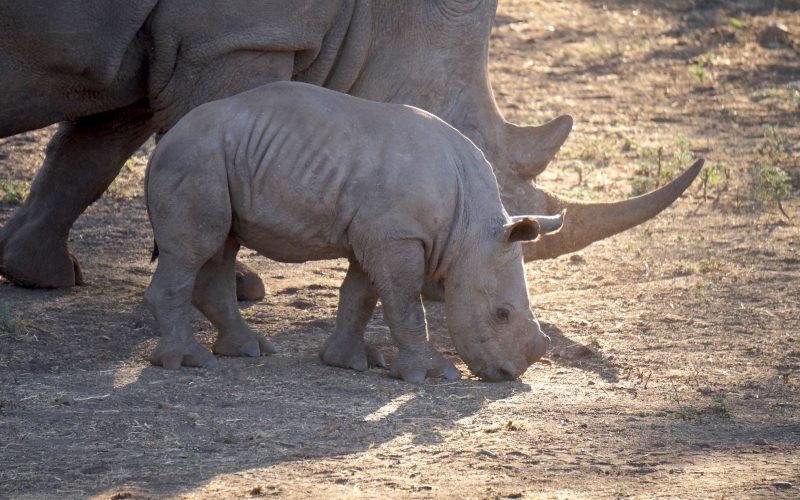 bébé rhinocéros, réserve Zulu Nyala, afrique du sud