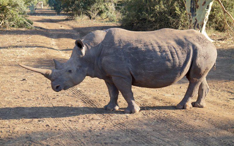 rhinocéros, réserve Zulu Nyala, afrique du sud