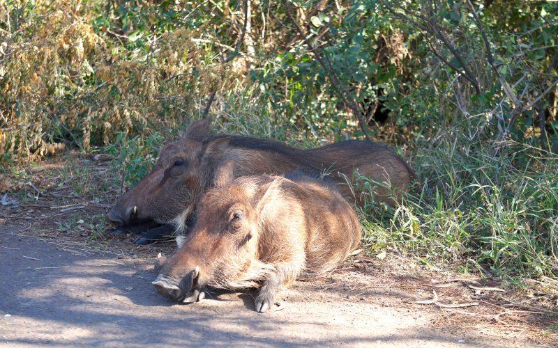 phacochère, parc hluhluwe imfolozi, afrique du sud