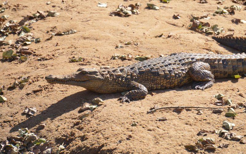 Crocodile, parc hluhluwe imfolozi, afrique du sud