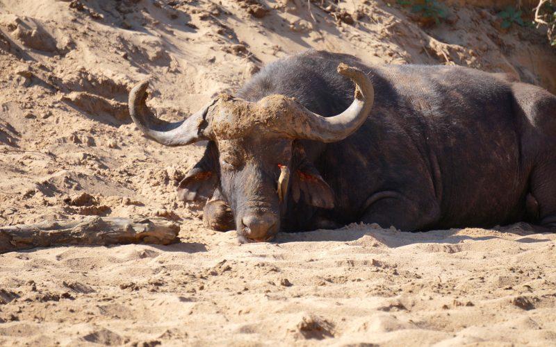 buffle, parc hluhluwe imfolozi, afrique du sud