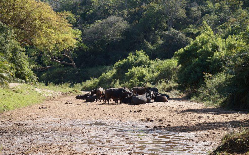 troupeau de buffles, parc hluhluwe imfolozi, afrique du sud