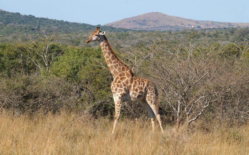 girafe, parc hluhluwe imfolozi, afrique du sud