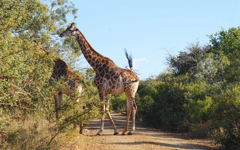 girafes, parc hluhluwe imfolozi, afrique du sud