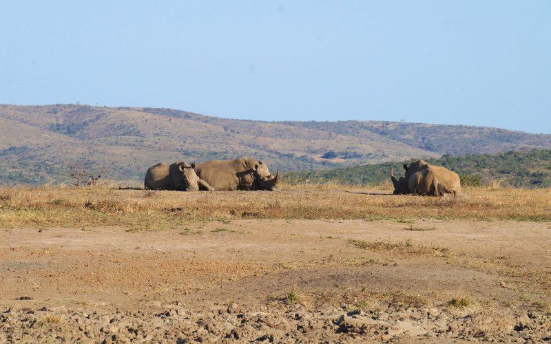 rhinocéros, parc hluhluwe imfolozi, afrique du sud