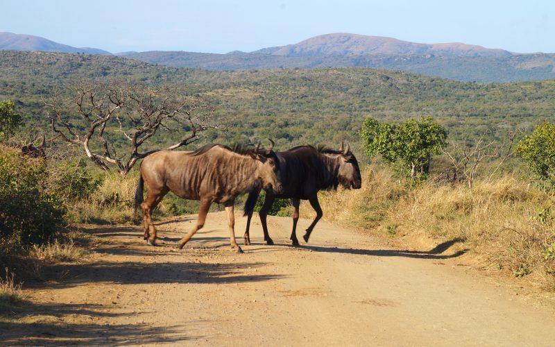 gnous, parc hluhluwe imfolozi, afrique du sud