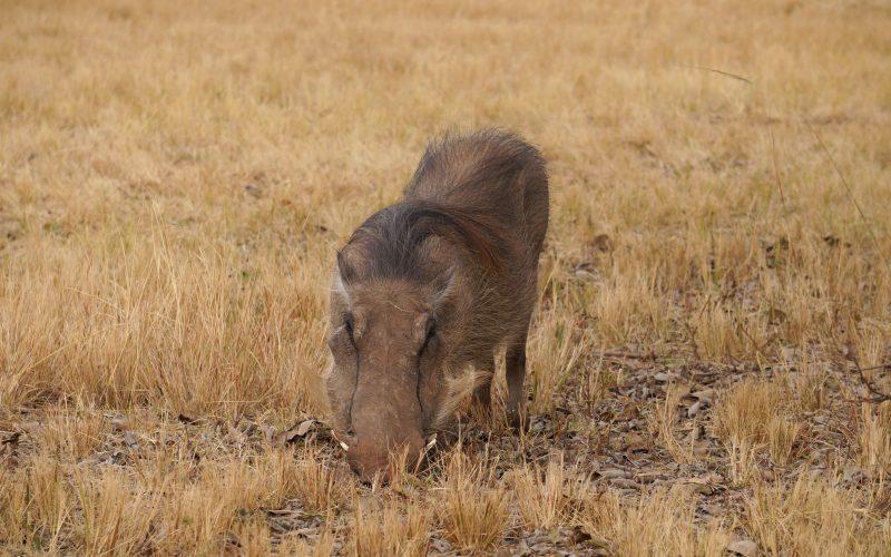 Phacochère, Mlilwane Wildlife Sanctuary, Swaziland