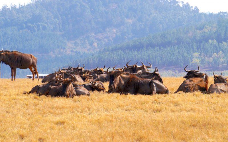 troupeau gnous, Mlilwane Wildlife Sanctuary, Swaziland