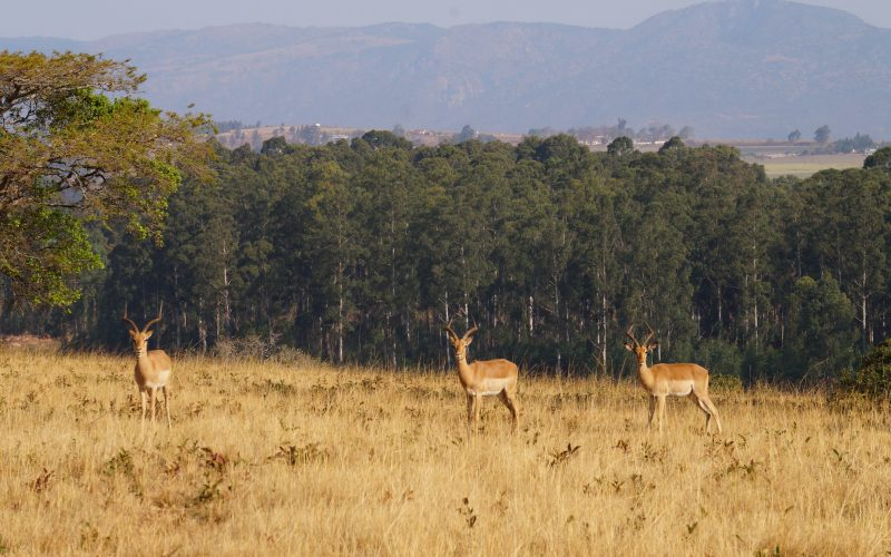 antilopes, Mlilwane Wildlife Sanctuary, Swaziland
