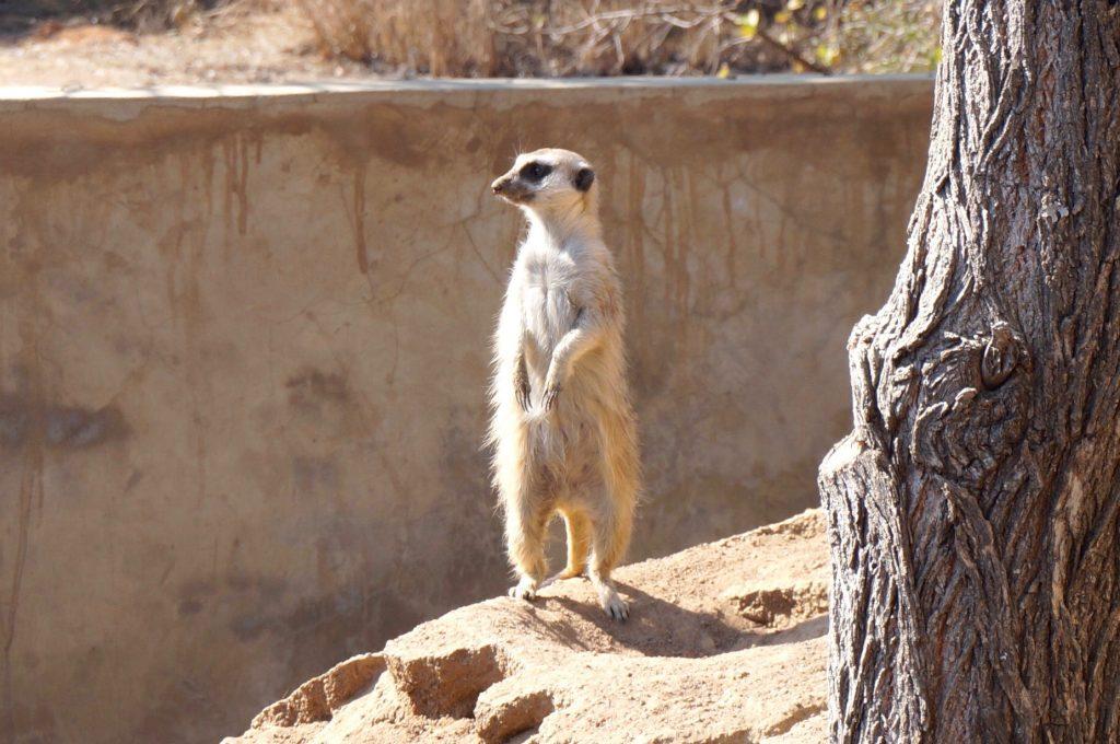 suricate, ukutula, afrique du sud