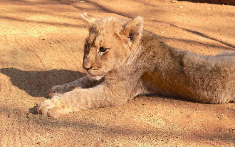 lionceaux, ukutula, afrique du sud