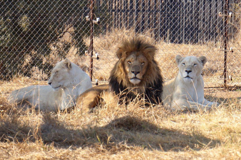 lions, ukutula, afrique du sud