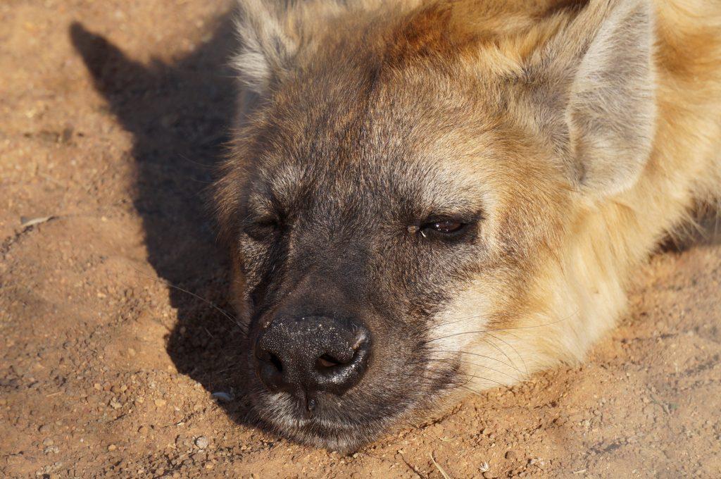 hyène, ukutula, afrique du sud