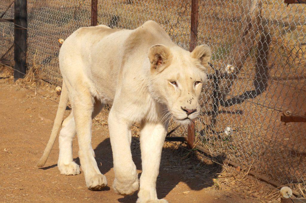 lionne blanche, ukutula, afrique du sud