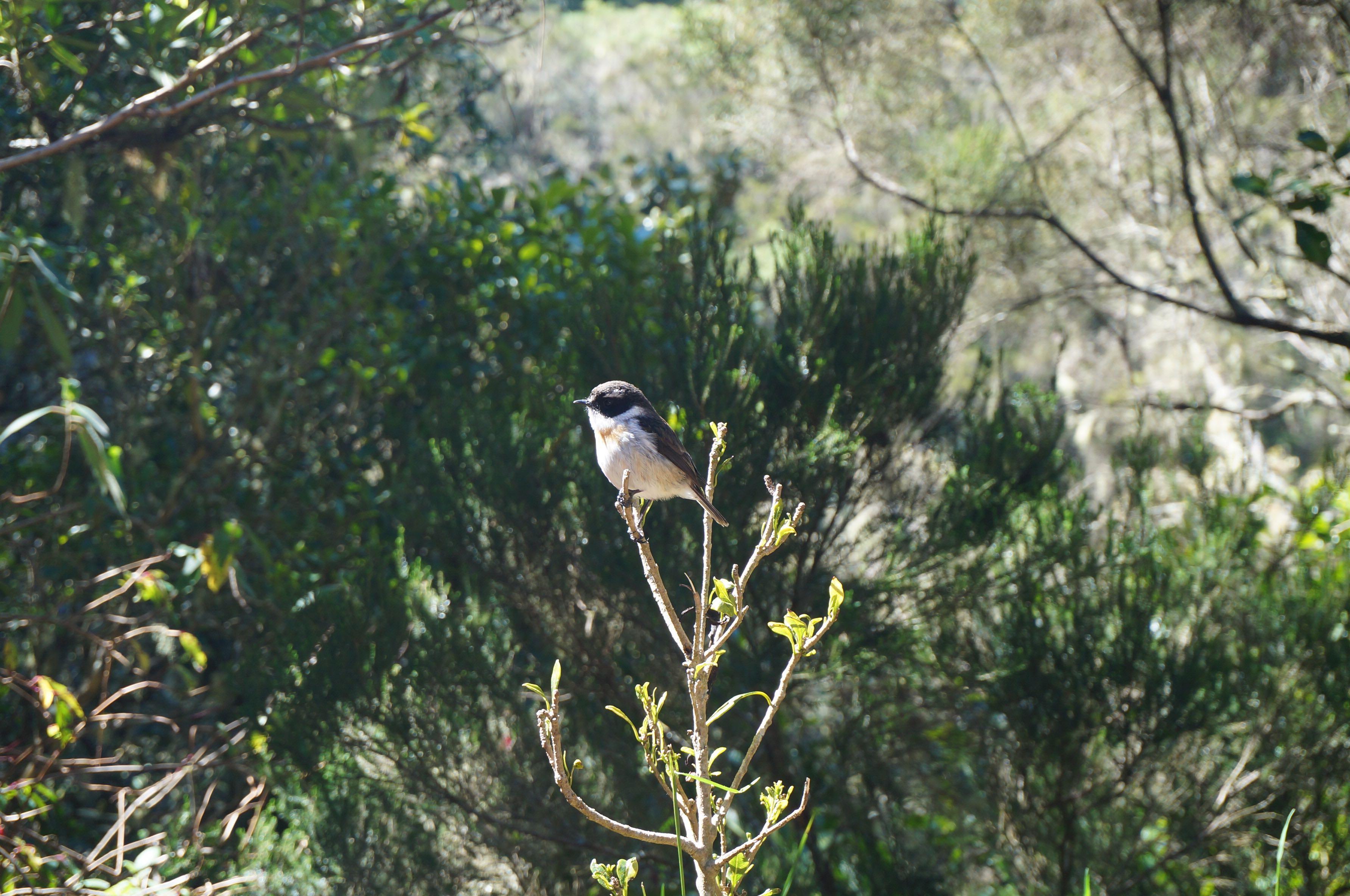 petit oiseau réunion ascension piton des neiges