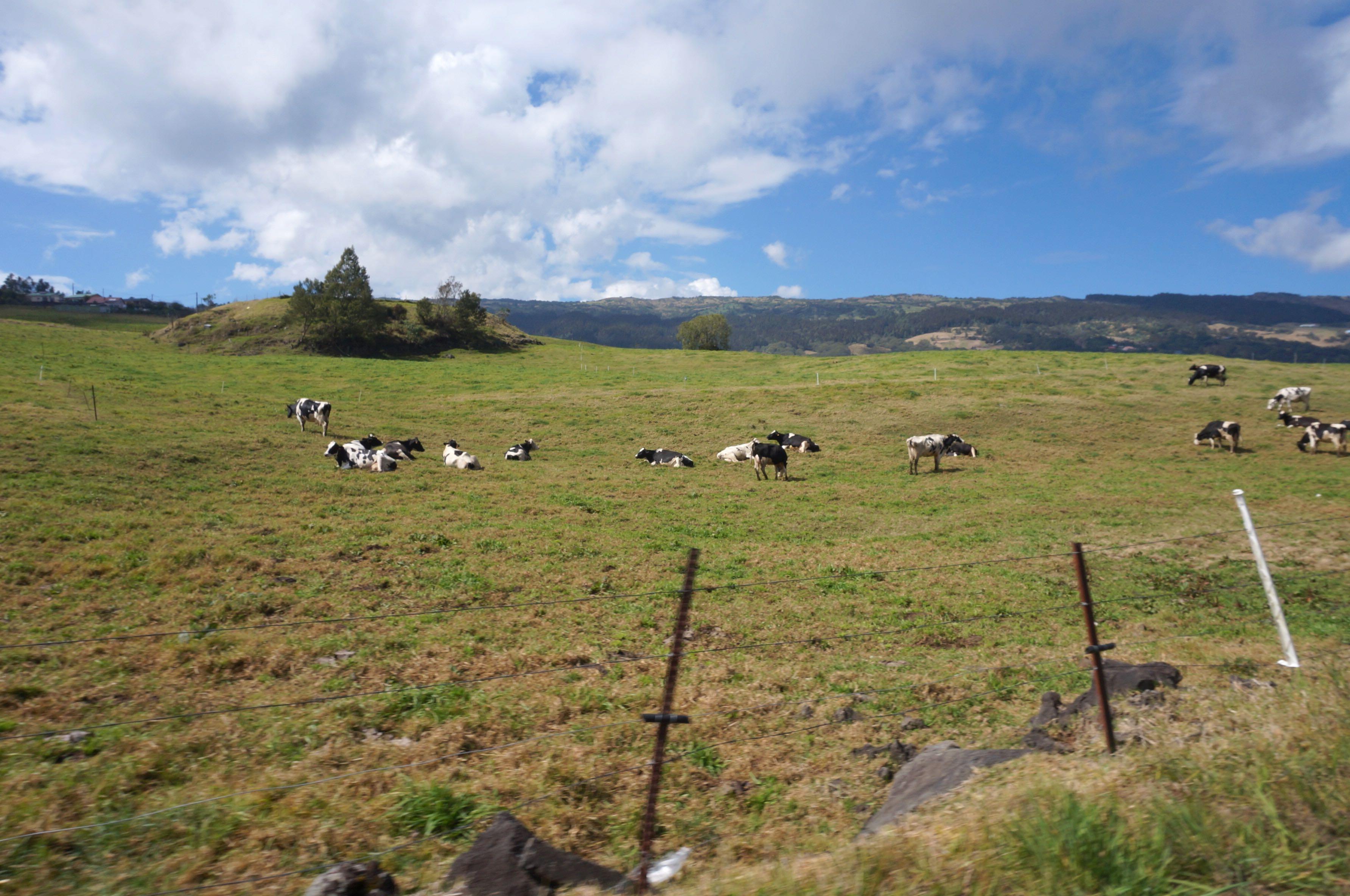 vaches plaine des cafres réunion