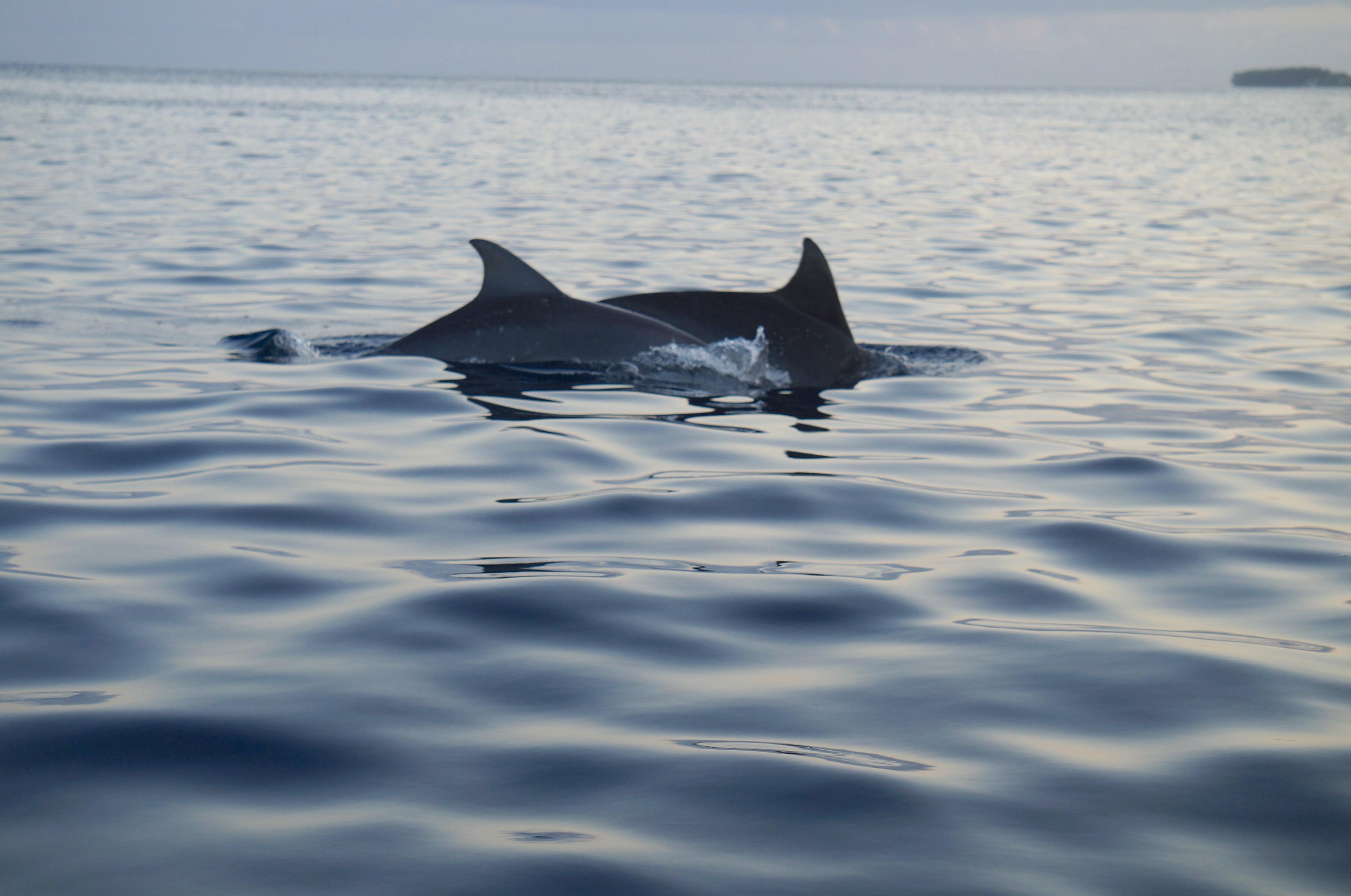 dauphins, ile maurice