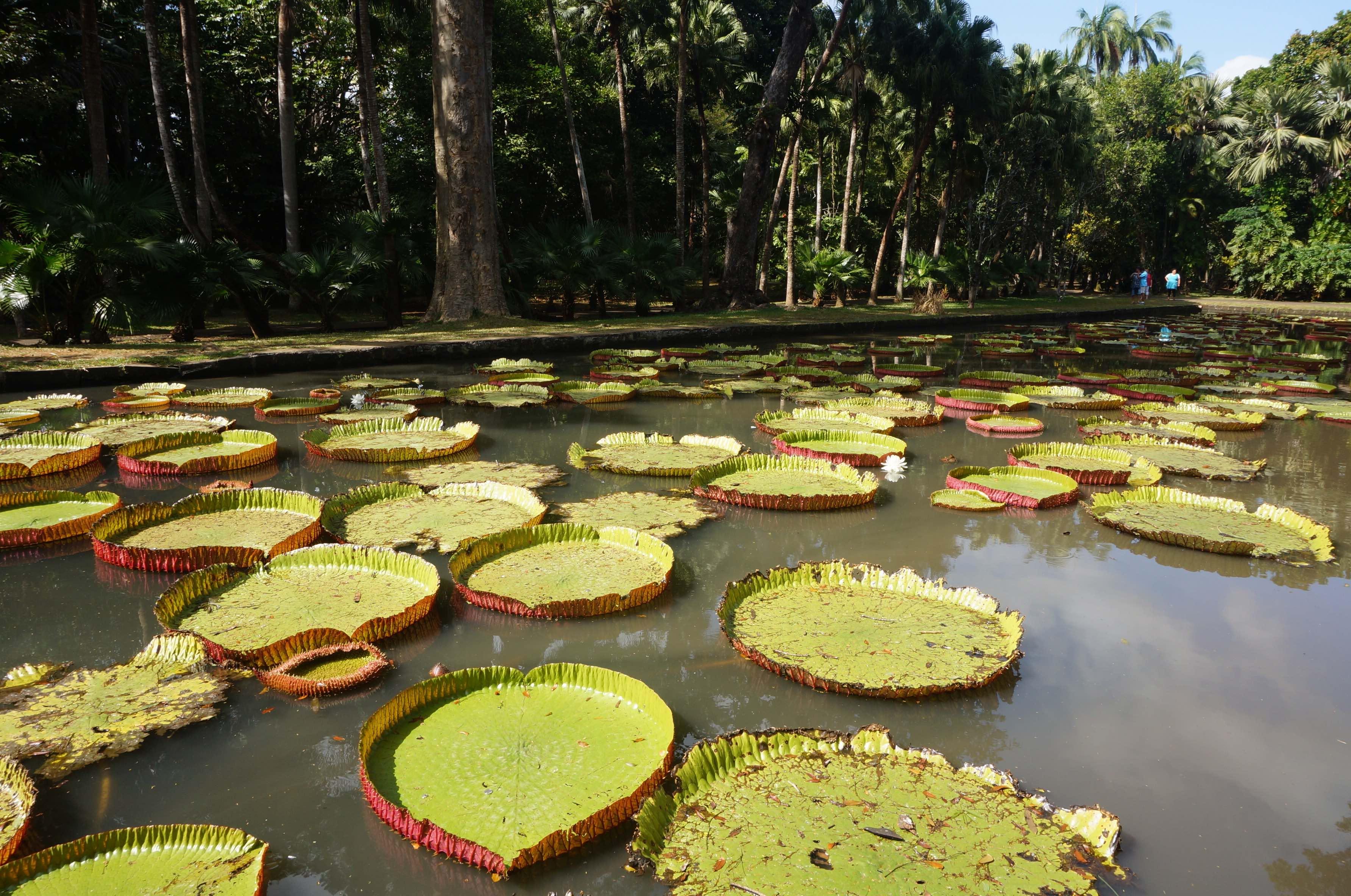 jardin des pamplemousses, île maurice
