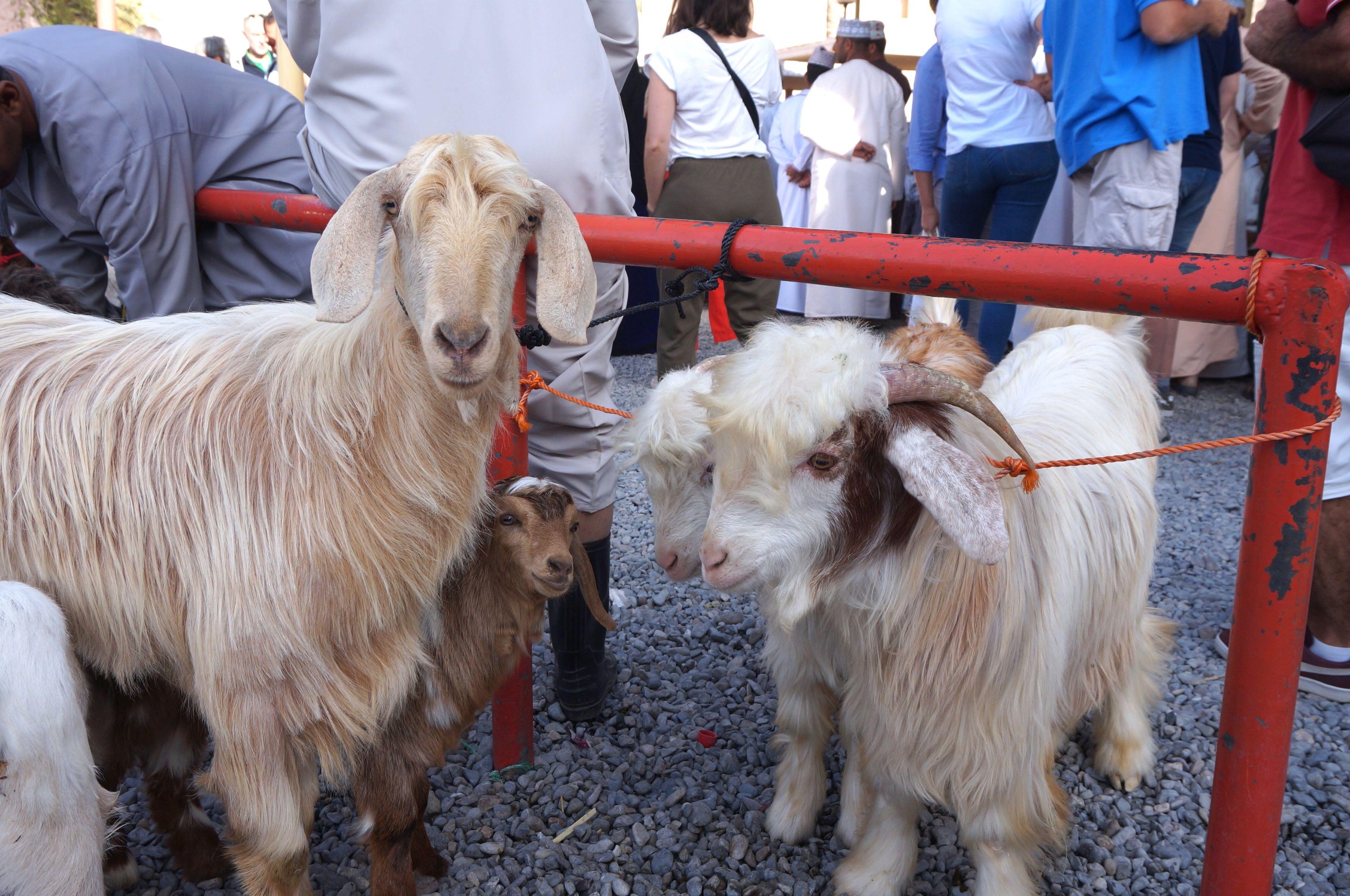 marché aux bestiaux, oman, nizwa