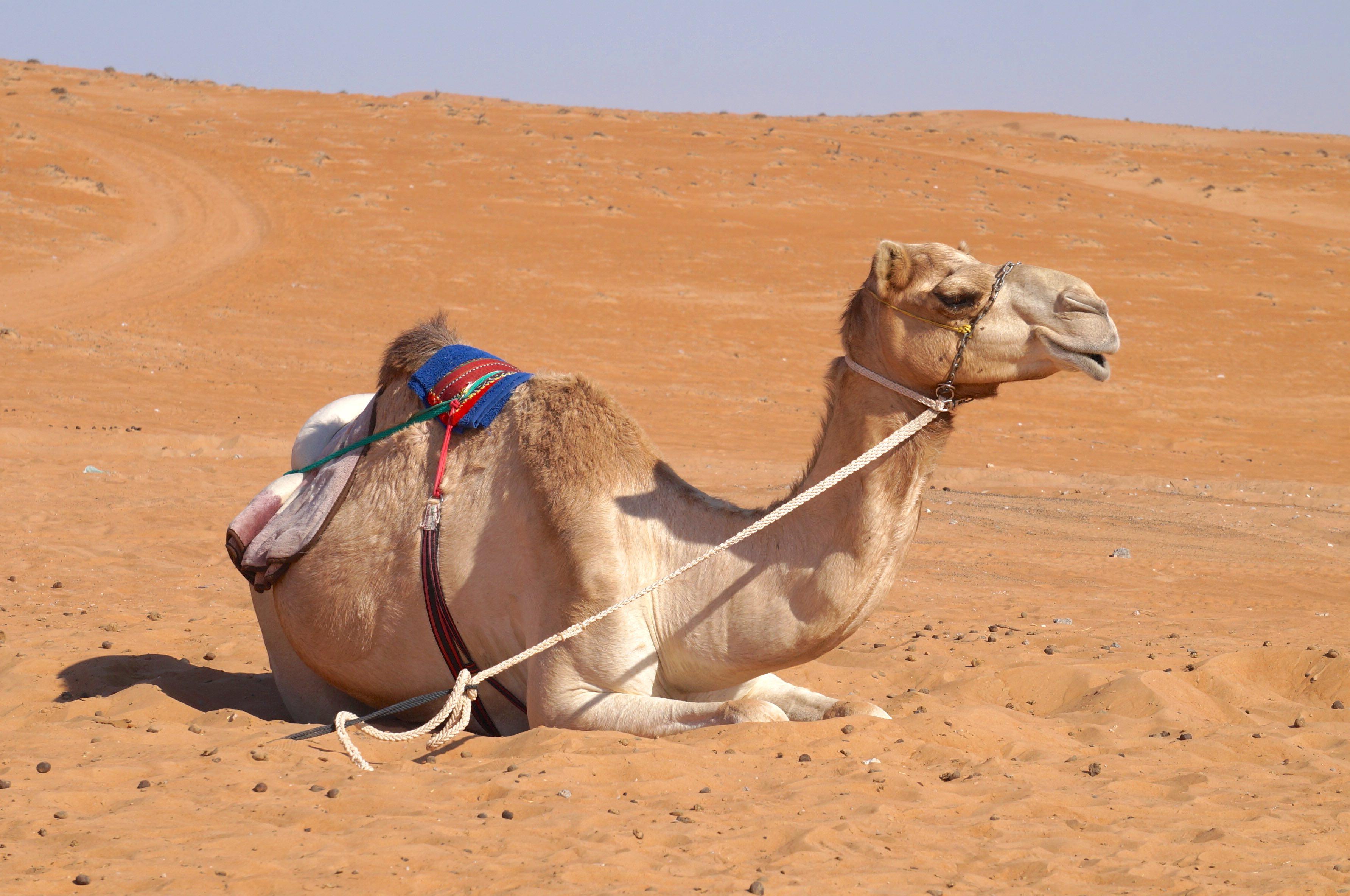 dromadaire, desert wahiba sands, oman
