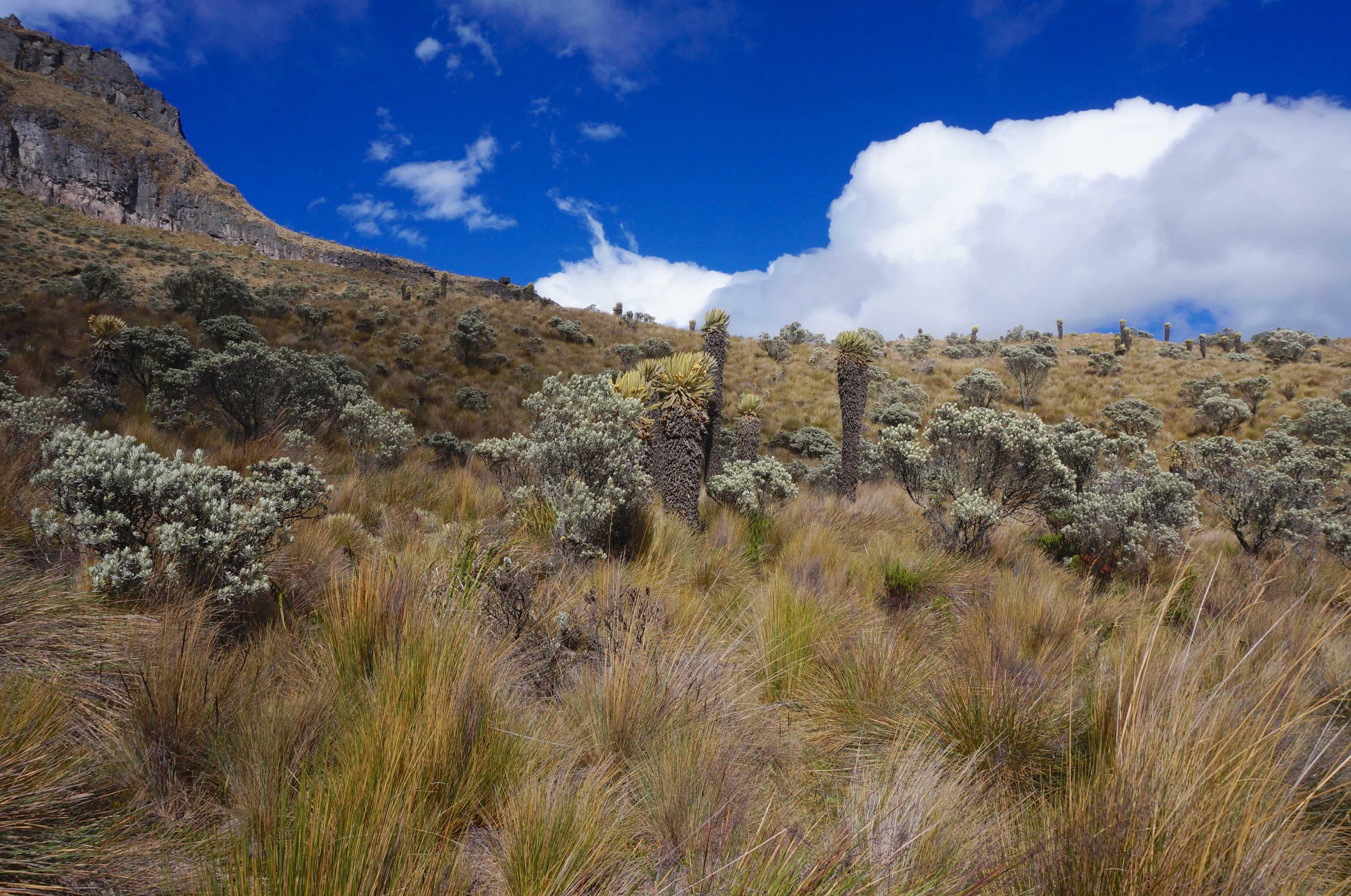 frailejones, paramo, glacier santa isabel, colombie, parc national los nevados
