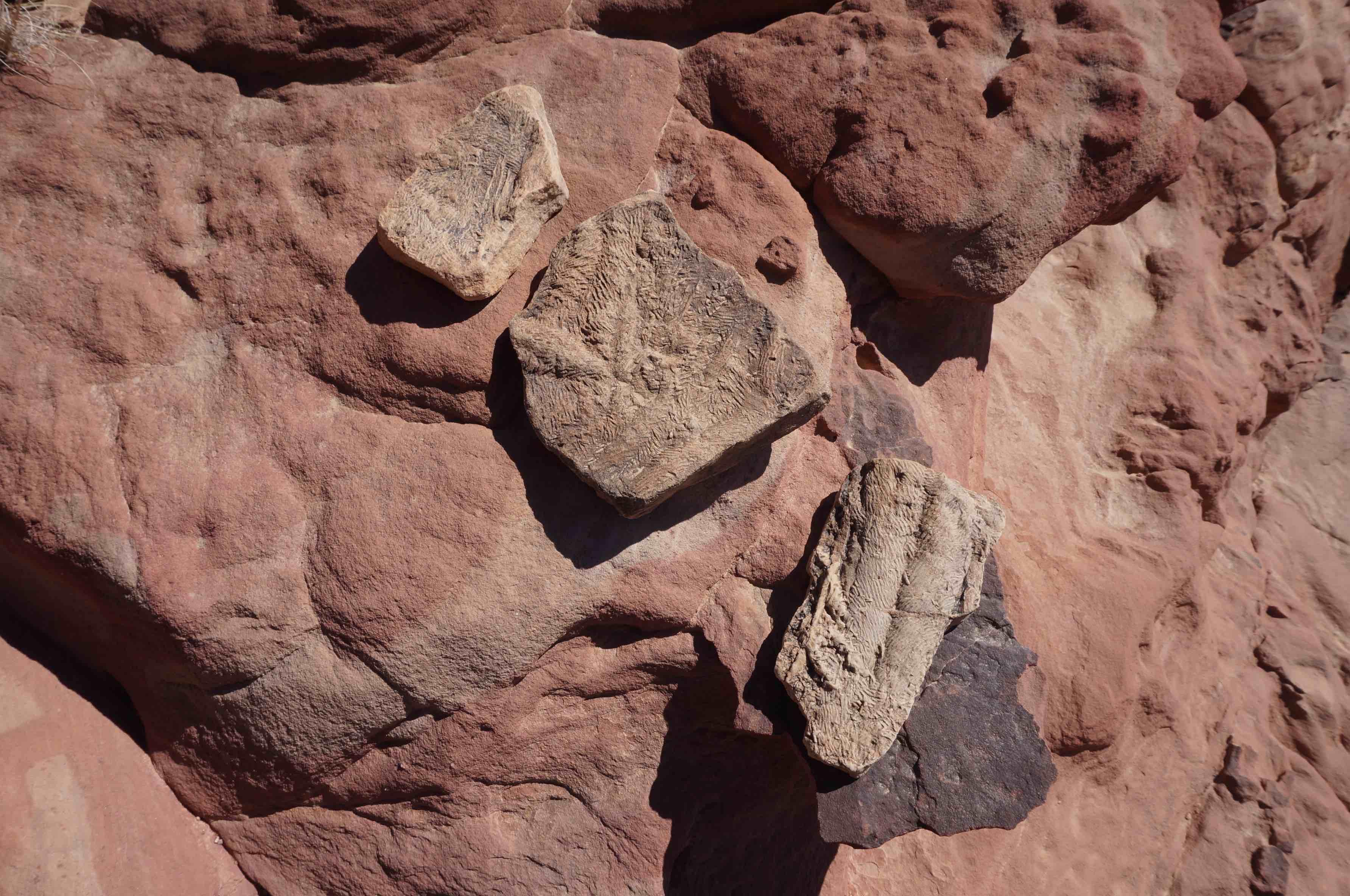 fossile, wadi rum, jordanie
