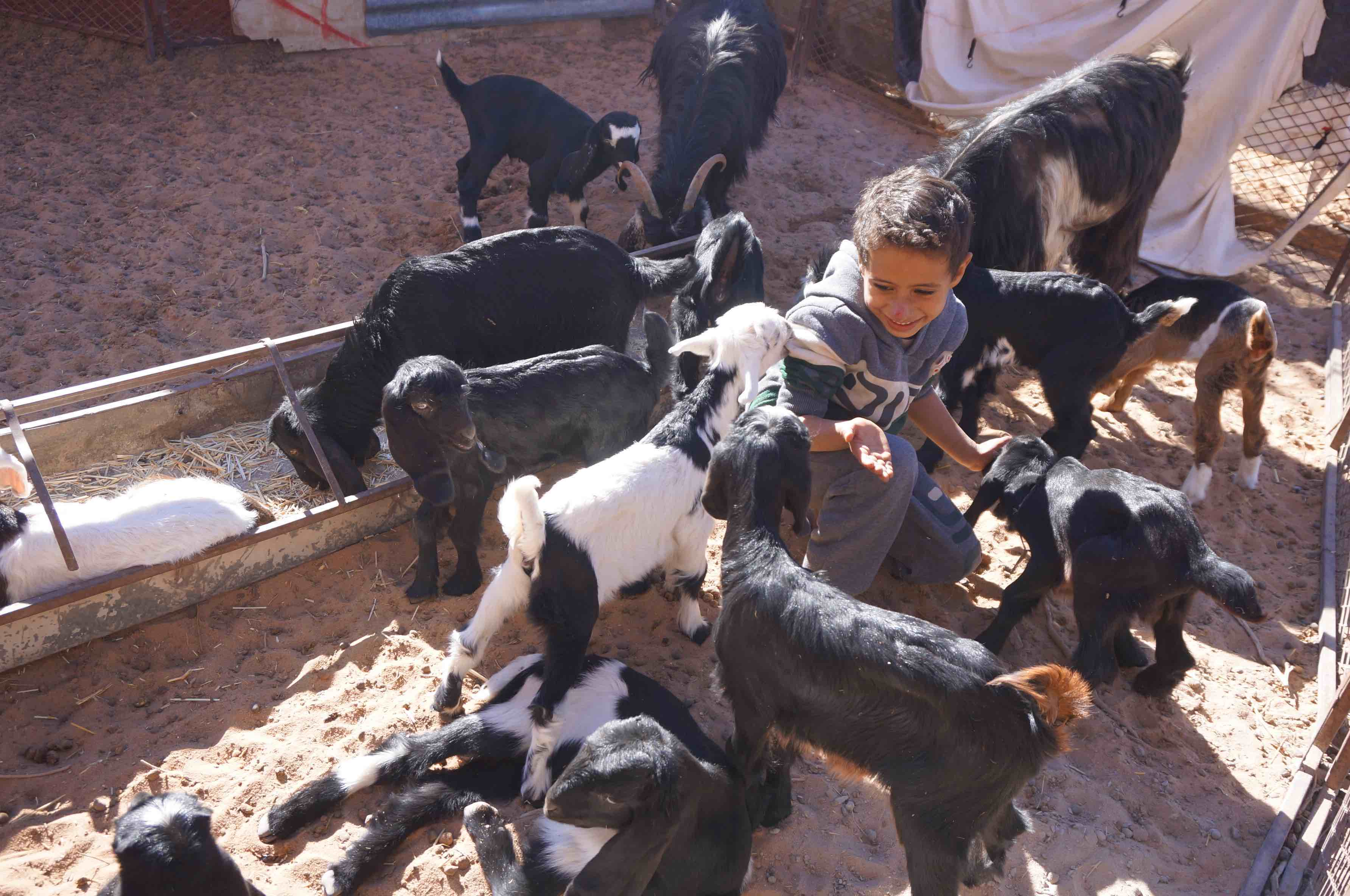 bedouin au milieu des chèvres, wadi rum, jordanie