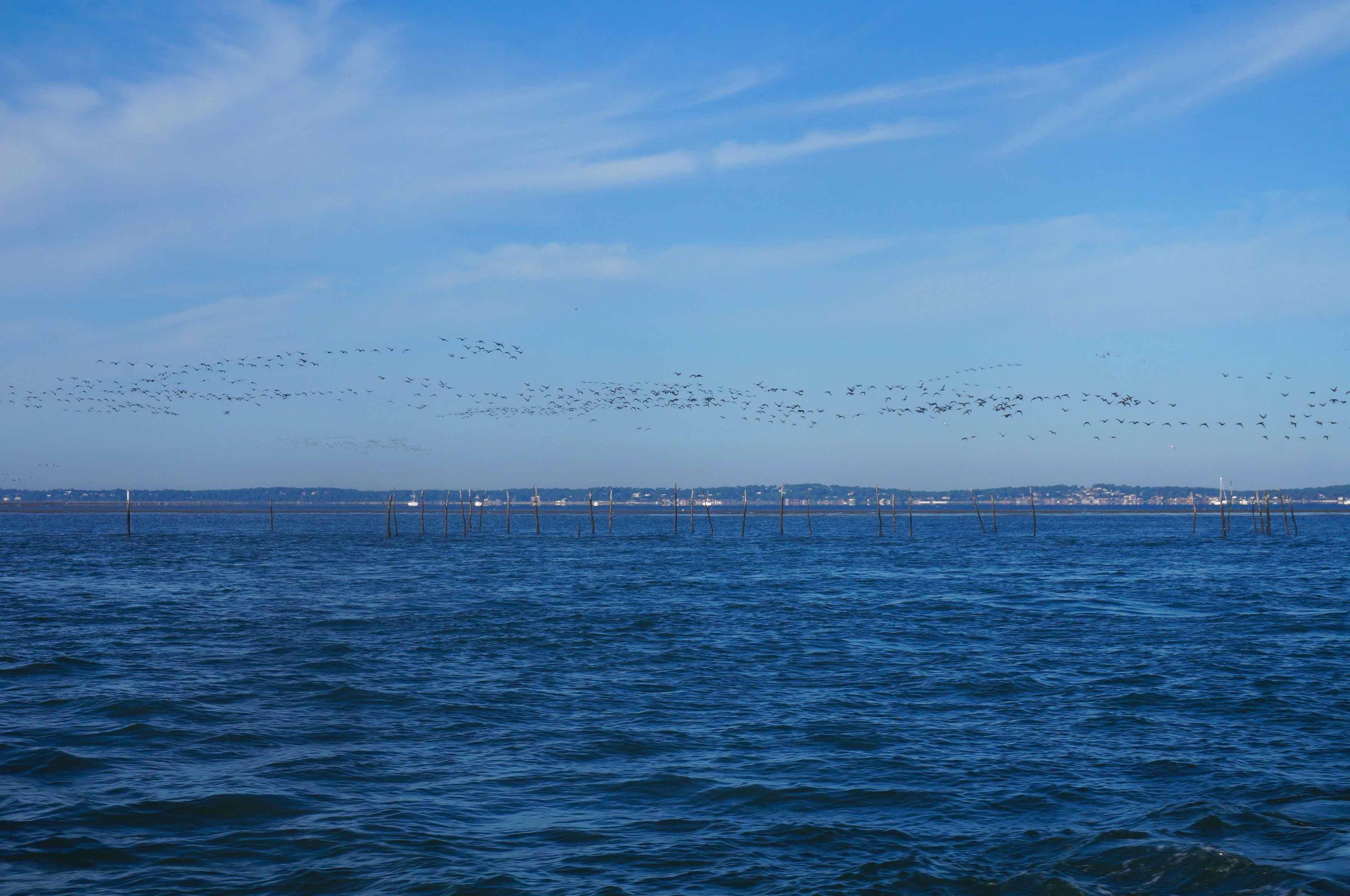 île aux oiseaux, bassin d'arcachon