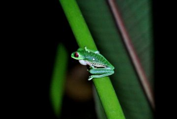 grenouille costa rica corcovado bahia drake